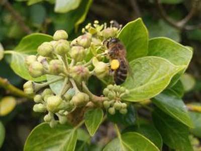 Honeybee on ivy flower